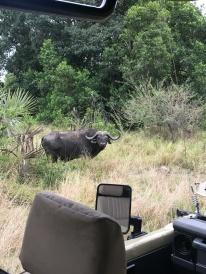 African Buffalo!